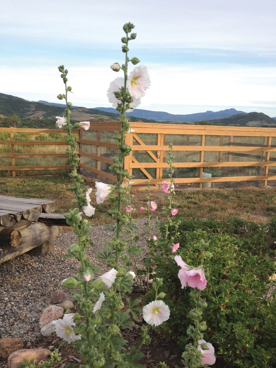 Hollyhocks can be seen in gardens throughout Routt County this summer. This plant loves full sun but can handle partial shade and doesn't need much watering at all.