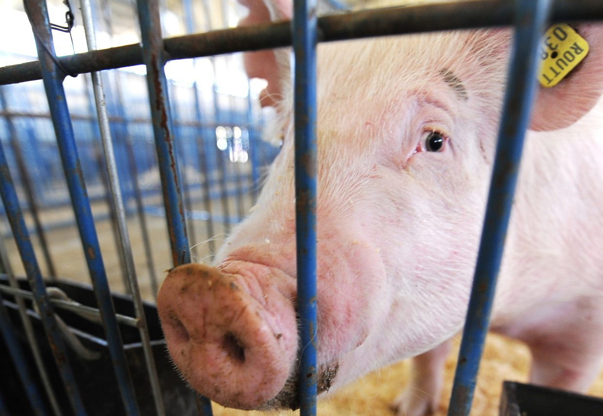 The few pigs already in their pens were lonely Sunday, but they'll have plenty of company beginning Monday when action at the Routt County Fair kicks into high gear.