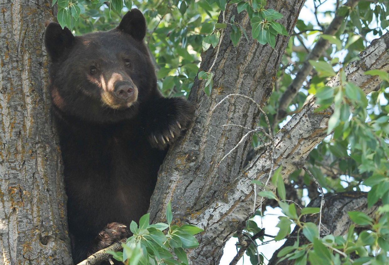 A bear hangs out in a tree across from Bud Werner Memorial Library in Steamboat Springs.
