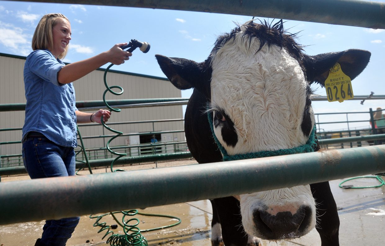Ryan Fralick washes her steer, Monster, on Friday at the Routt County Fair in Hayden.