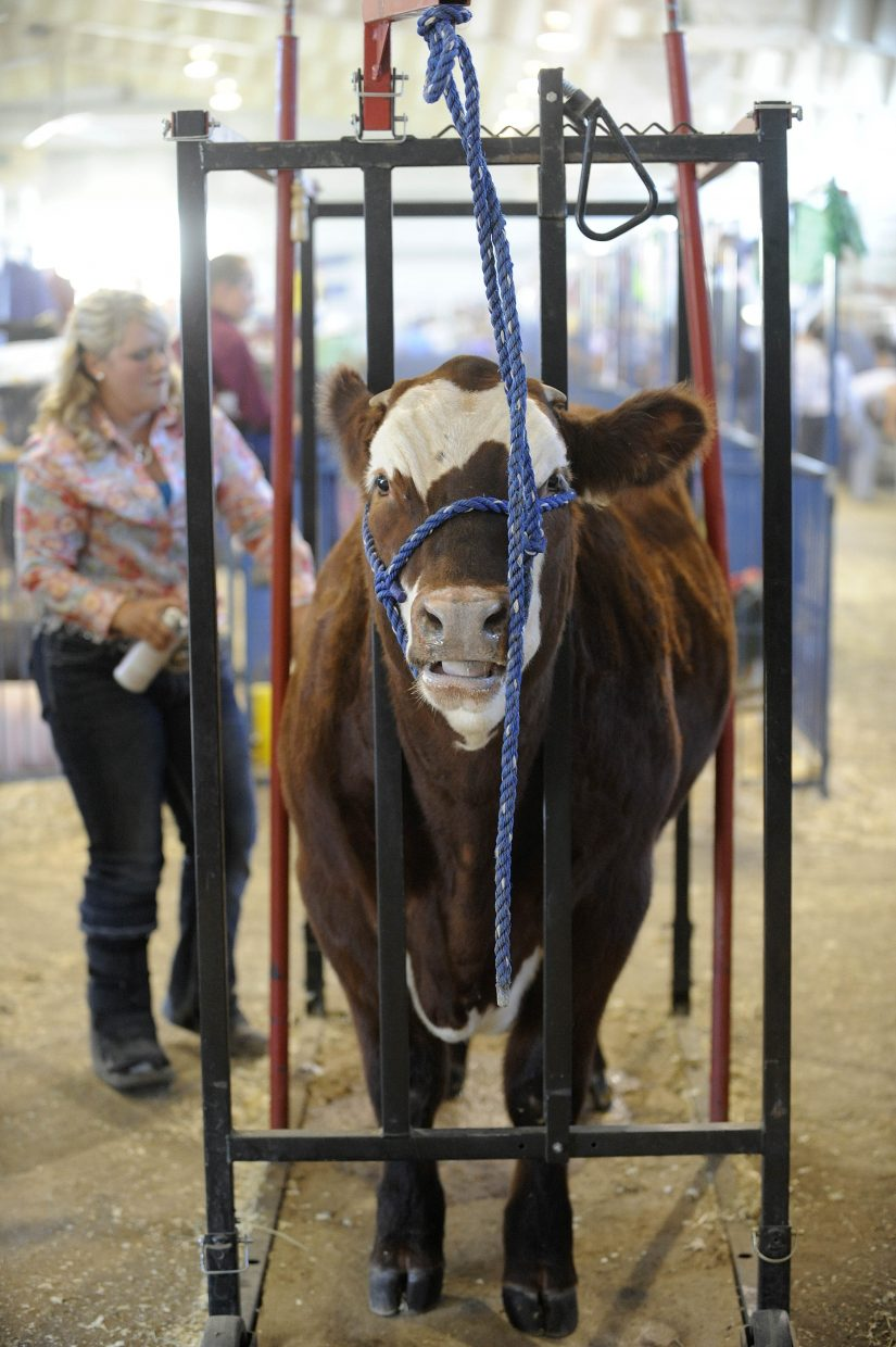 Tia Rozell prepares her steer during Saturday's Junior Livestock Sale at the Routt County Fairgrounds.