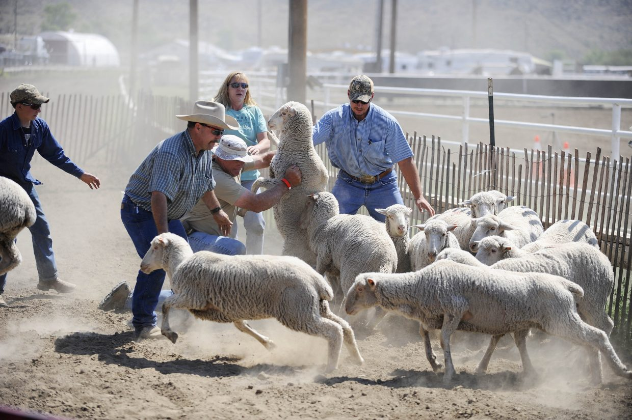 The mutton bustin' sheep are rounded up after the competition Saturday at the Routt County Fair.
