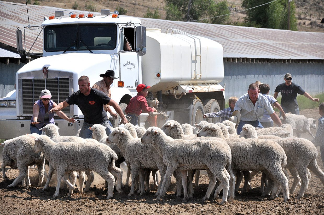 Routt County Fair volunteers and a few kids help round up a flock of sheep that escaped from the mutton bustin' competition Sunday.