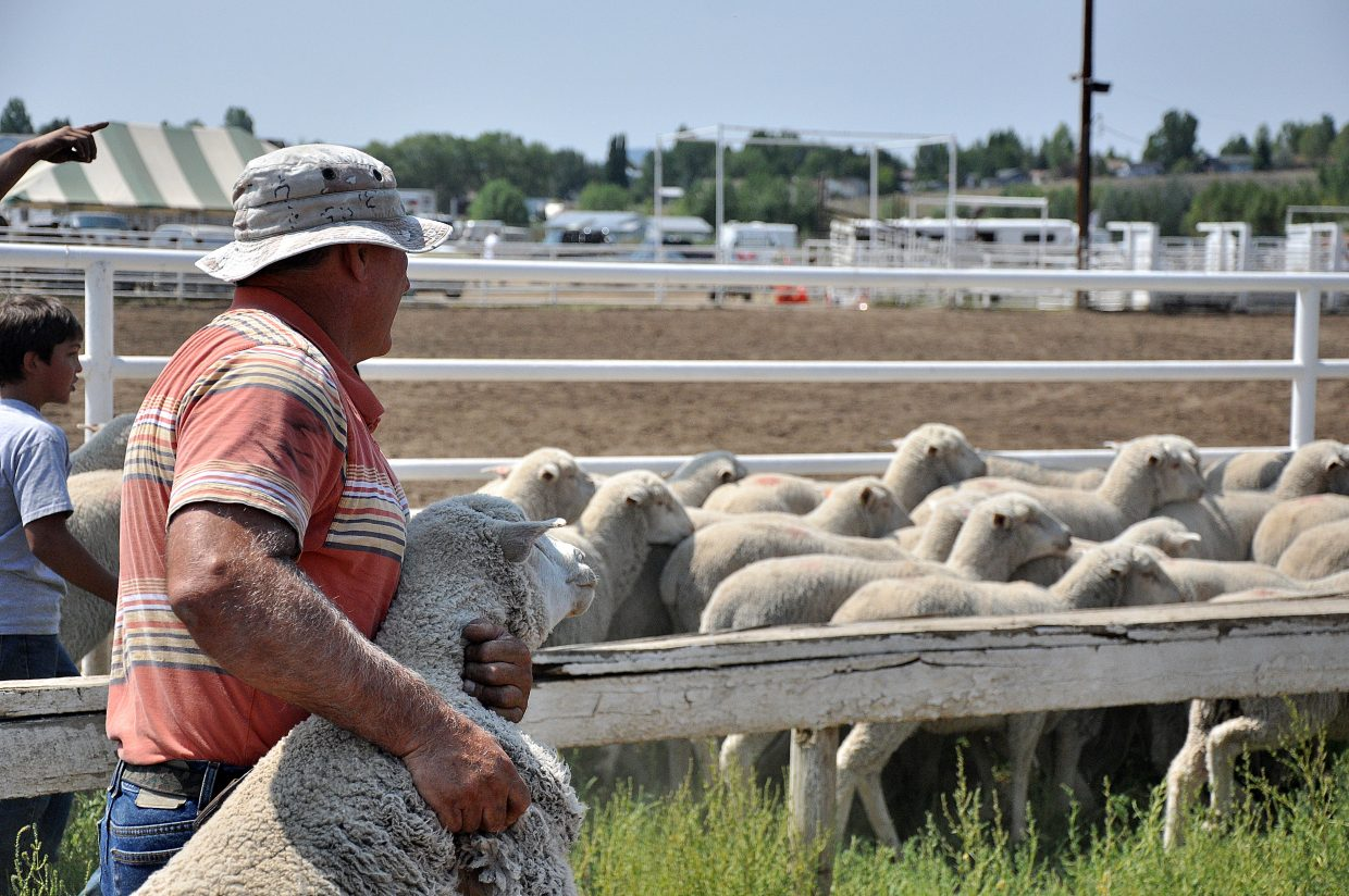 Chris Decker carries a sheep back to the mutton bustin' arena Sunday at the Routt County Fair in Hayden.
