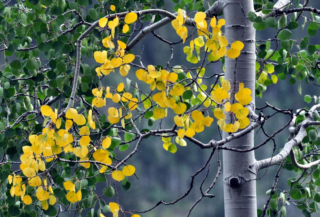 A small number of Aspen trees on Buffalo Pass already are starting to show off some fall colors.