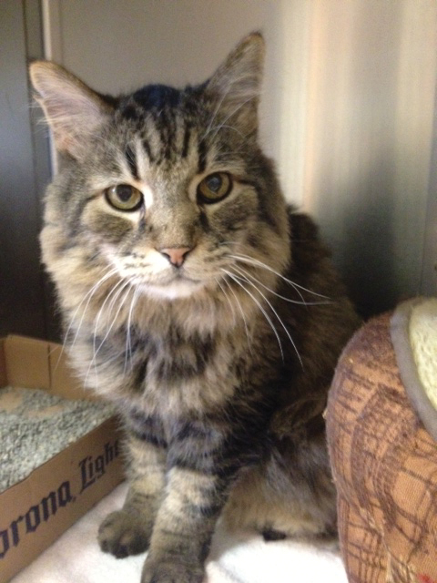 Adopt Moose: Moose is a handsome, 6-year-old male Maine coon. This big guy is very friendly and enjoys being around people. He is talkative and outgoing and would do well in an indoor/outdoor situation. Meet him at the Steamboat Springs Animal Shelter, or call 970-879-0621 for more information.