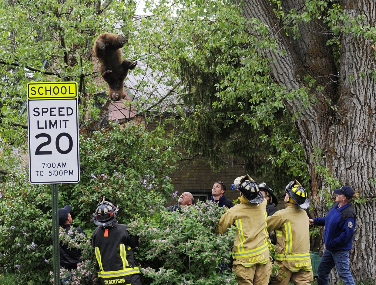 Firefighters and Colorado Division of Parks and Wildlife officers hold a tarp to catch a black bear that was tranquilized and fell from a tree May 23 in downtown Steamboat Springs. The bear was illegally shot and killed in North Routt County.