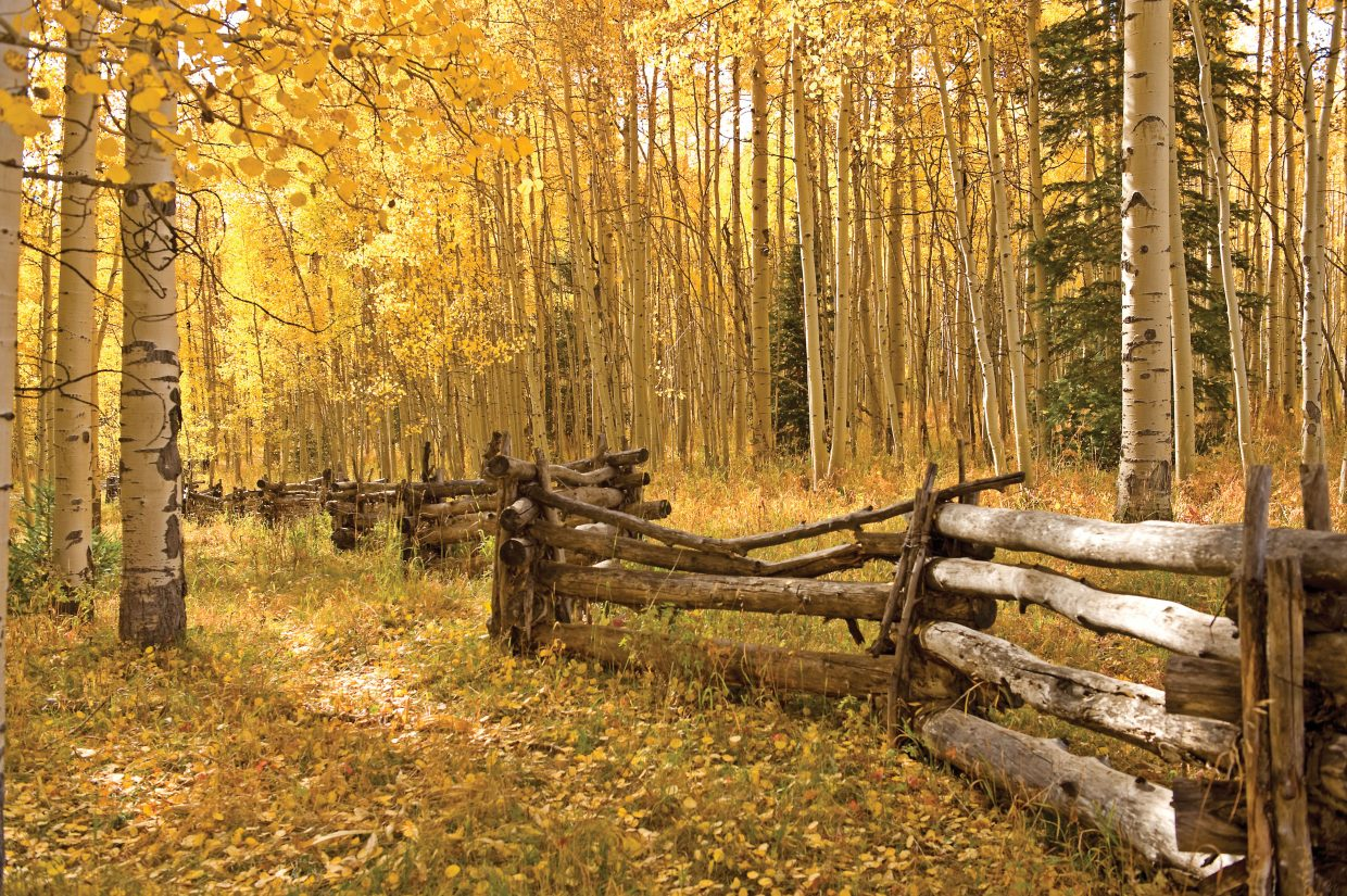 An old wood fence winds through the aspen forest at Silver Jack Campground in the Cimarron Valley.