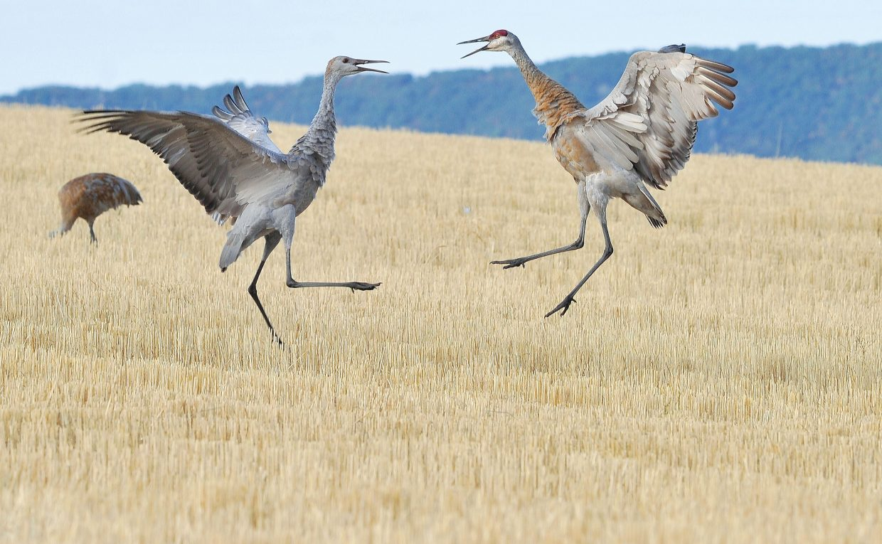 Sandhill cranes go beak to beak while feeding in a field just west of Steamboat Springs in 2012. The cranes were part of a larger flock that gathers each year in the field.