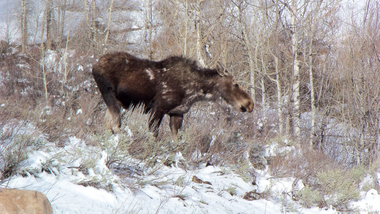 Moose off Hilltop Parkway. Submitted by: Randall Lentz