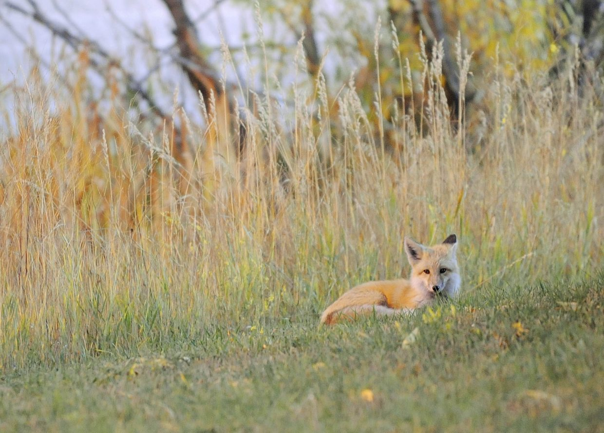 A fox lies next to tall grass Friday evening on the west side of Steamboat Springs.