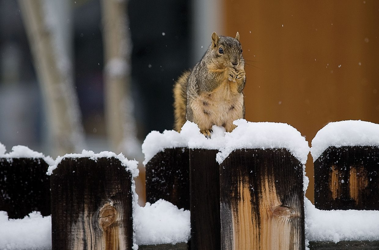 A squirrel is doing his best to fatten up before winter on a fence top Wednesday morning in Steamboat Springs. But the light covering of snow on the ground, and more falling, was a reminder that winter isn't too far away.