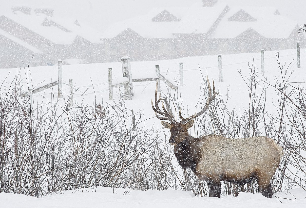 A bull elk stands in a meadow just off Walton Creek Road last winter. The elk, and another, were foraging for food and drew a good-sized crowd of onlookers at times. According to the U.S. Forest Service and Colorado Division of Parks and Wildlife officials, as big game herds are forced out of native winter range due to human disturbance, the animals move to town and into inferior habitat where conflict occurs with the public, vehicles and the agriculture industry. The closed areas provide pockets of habitat where deer and elk find security and food during the harsh winter months without being disturbed by human activities.
