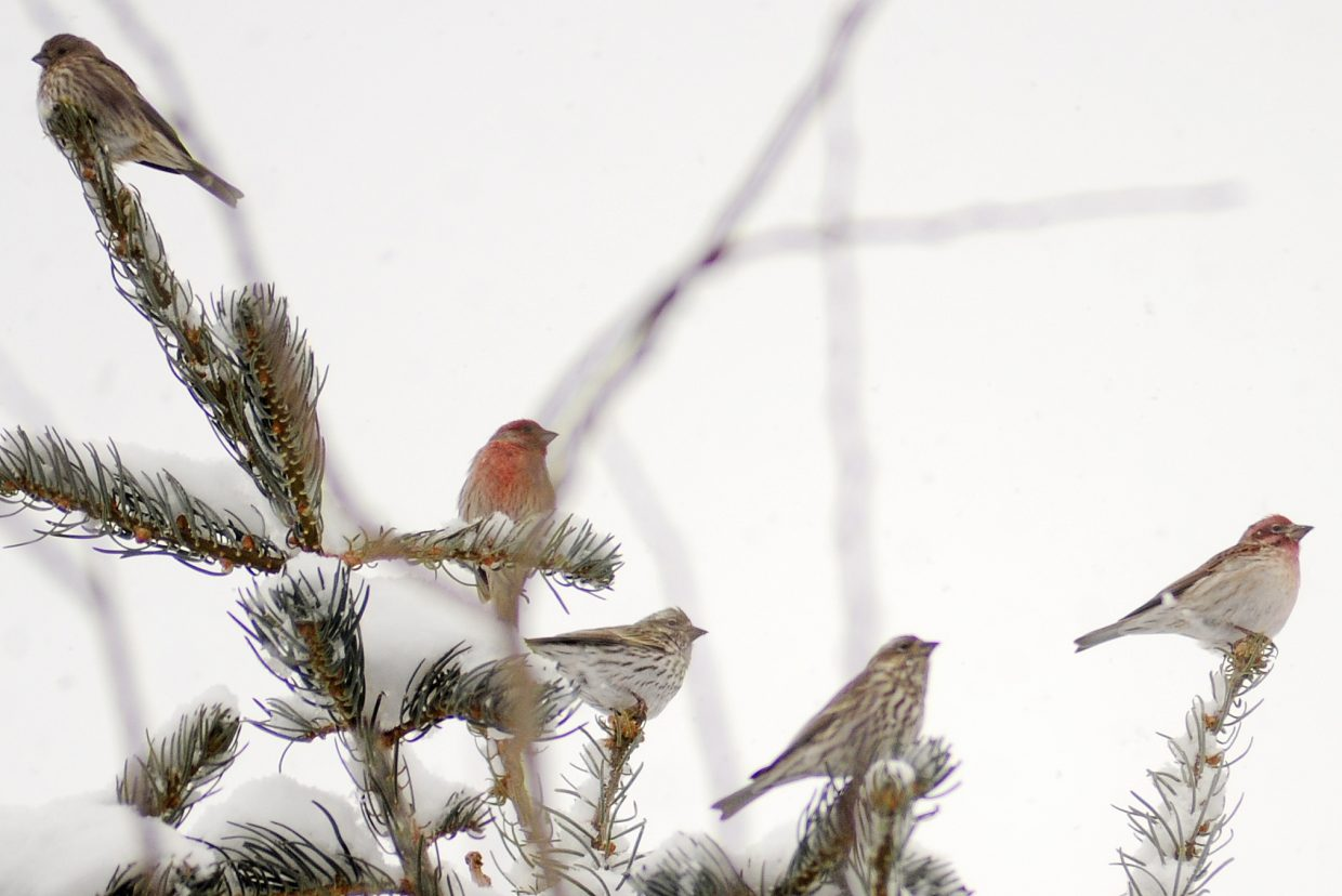 A flock of Cassin's finches sit in a tree off Anglers Drive in Steamboat Springs.