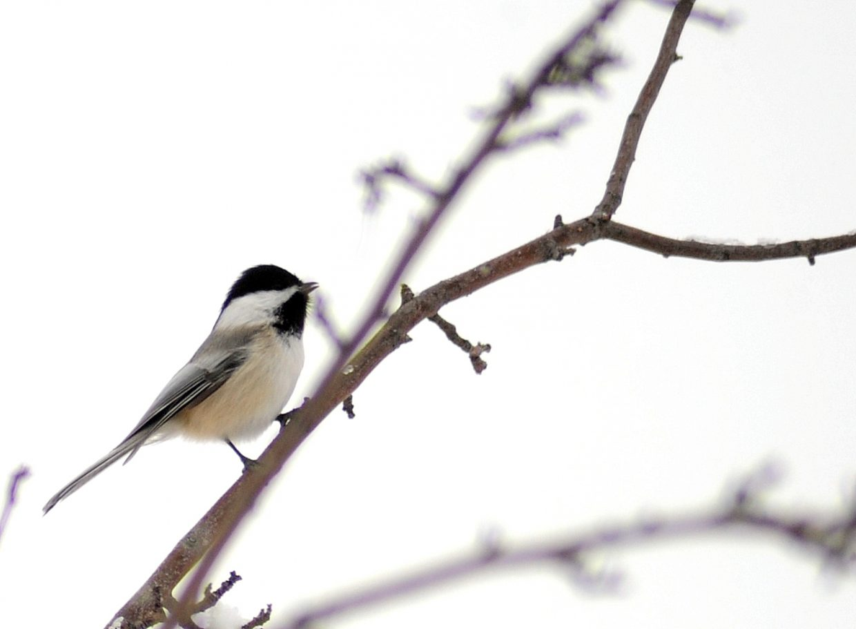 A black-capped chickadee sits on a branch in Steamboat Springs.
