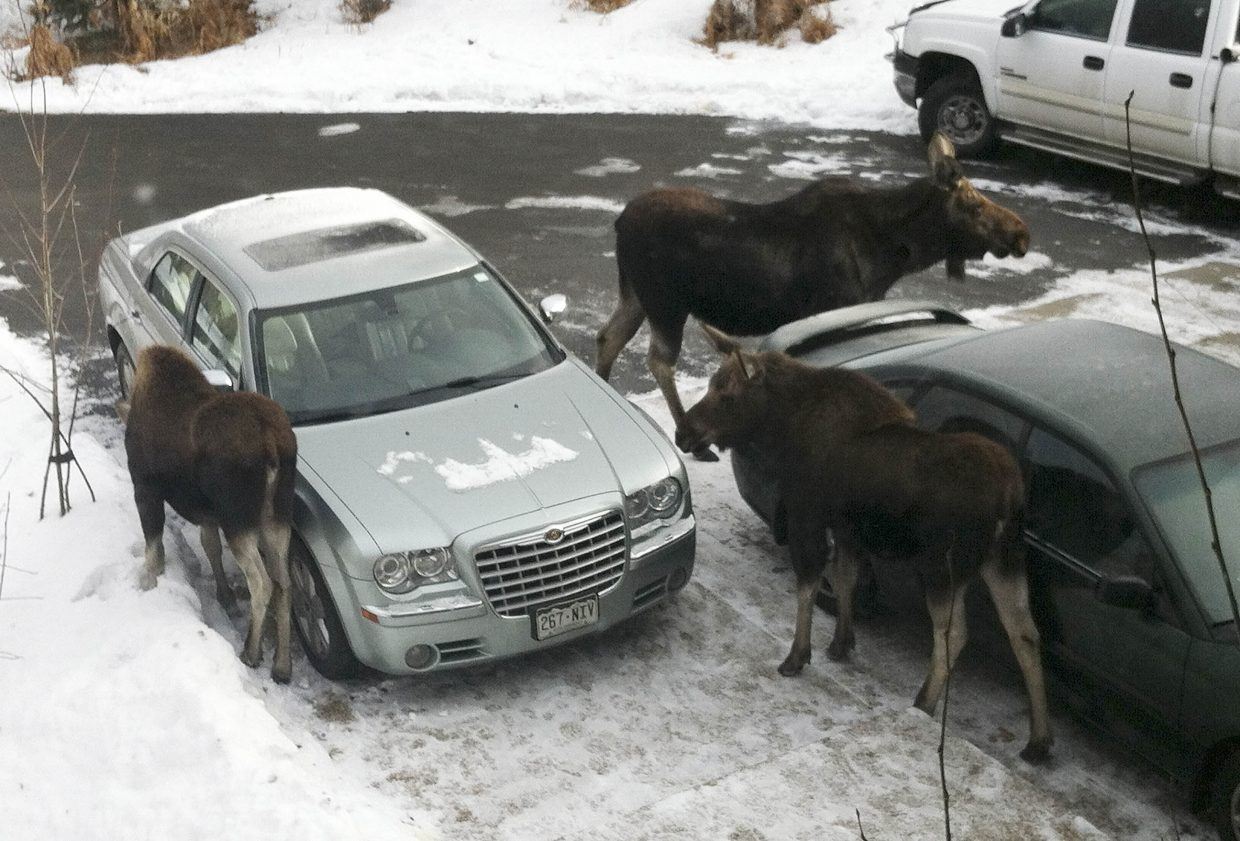 A moose and her two calves gather on Tom and Karen Fox's driveway Tuesday on Deerclover Lane.