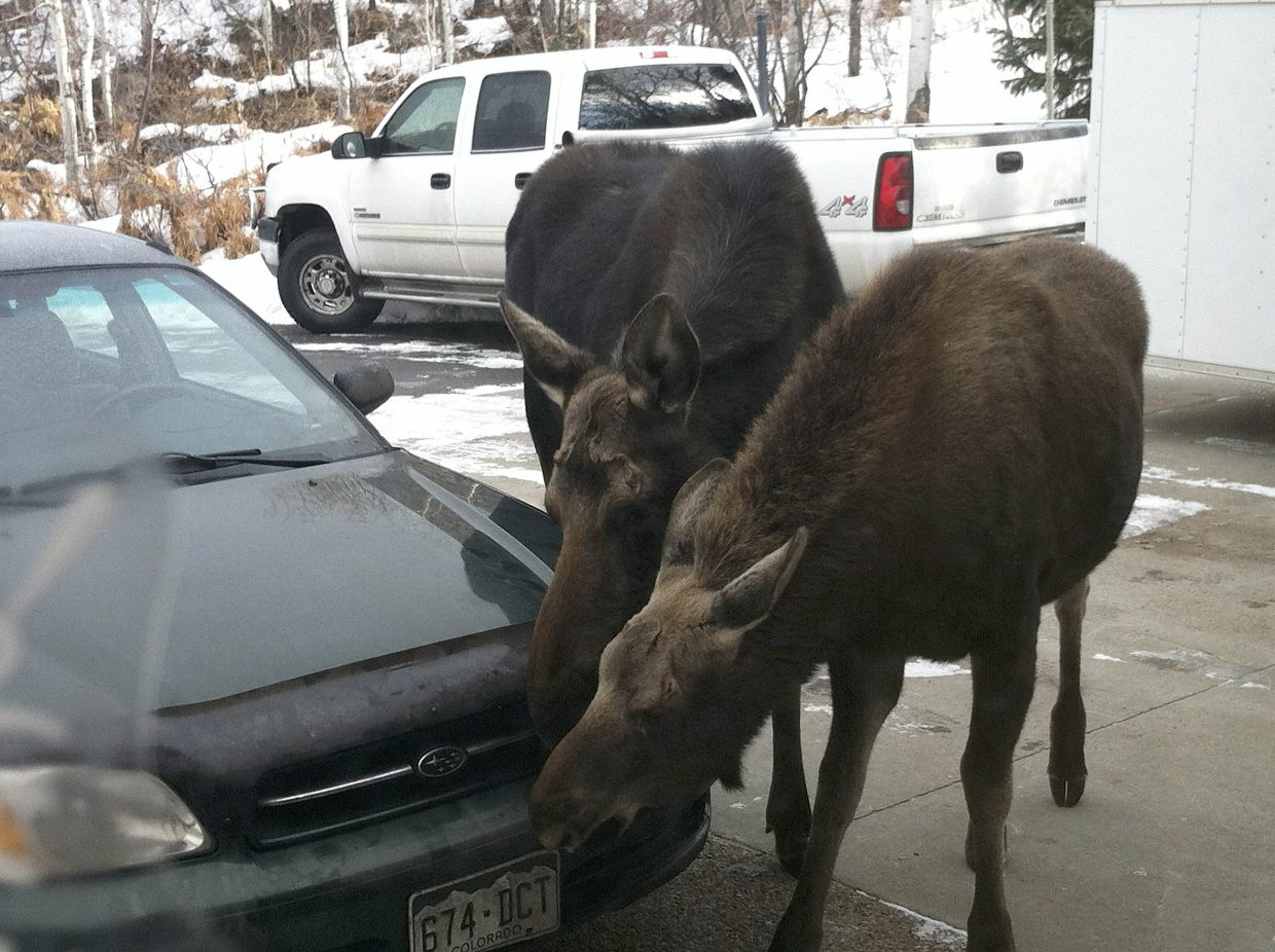 Moose lick salt off the bumper of a Subaru parked on Tom and Karen Fox's driveway.