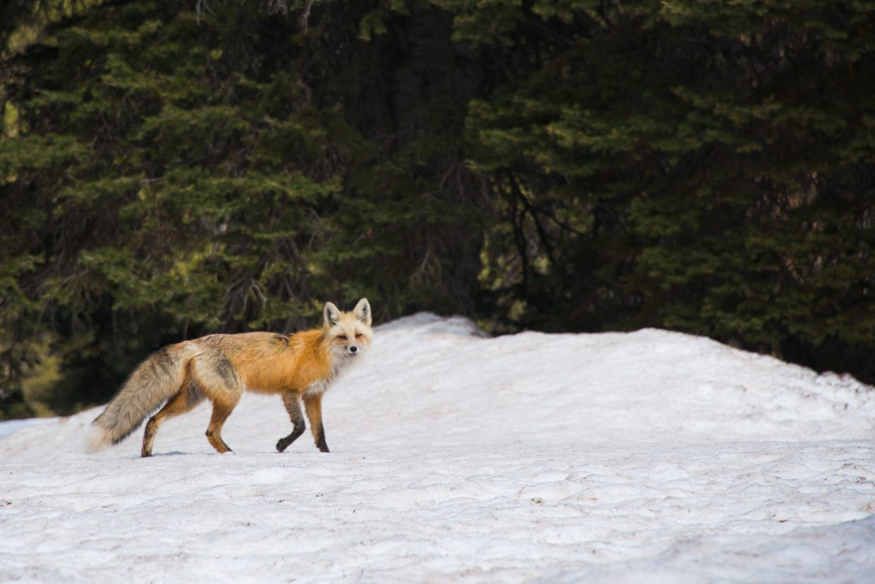 A red fox walks through the trees at Routt National Forest. Submitted by: Todd Sowers