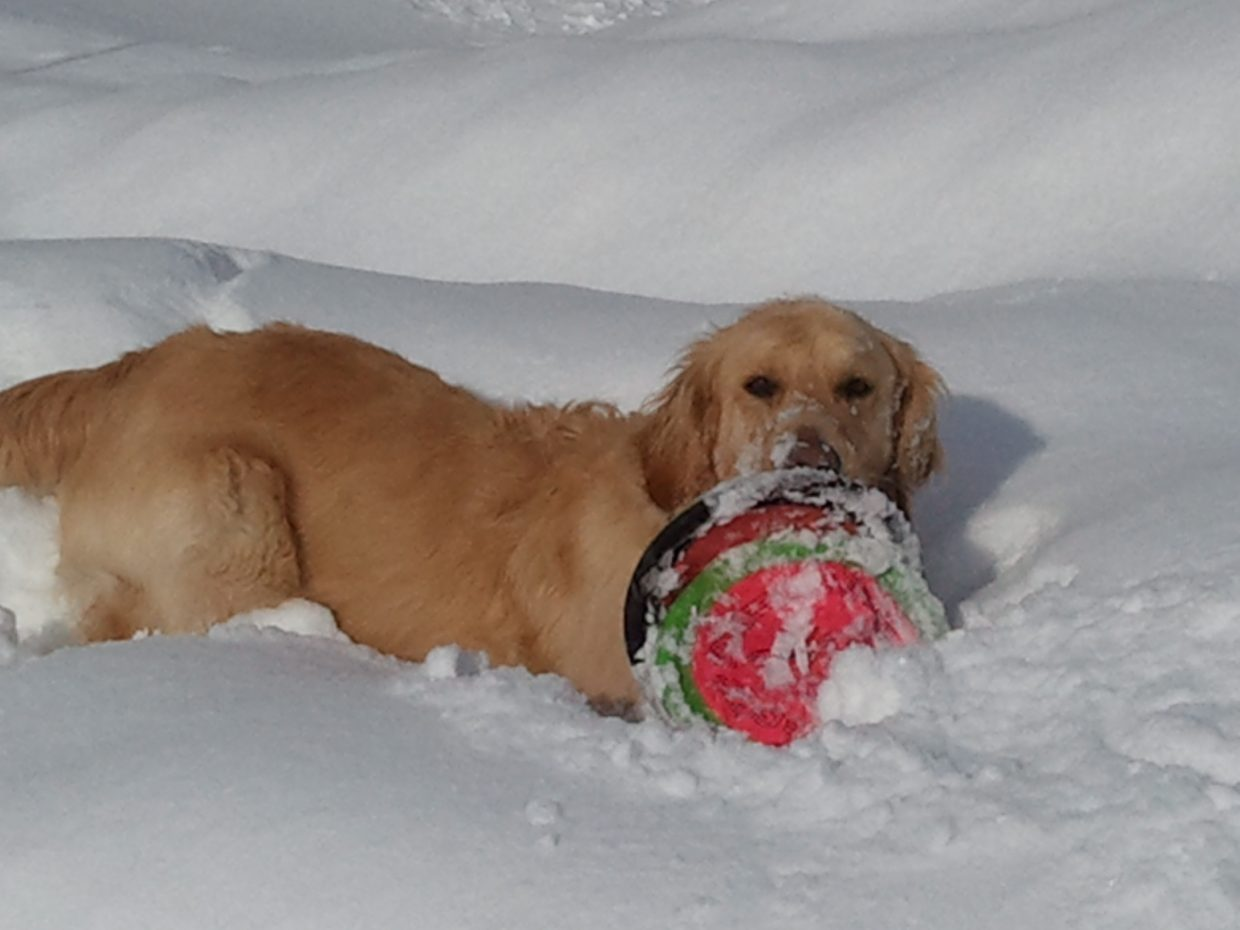 Golden retriever Emrie having some fun in the new snow up in North Routt. Submitted by: Deb Reed