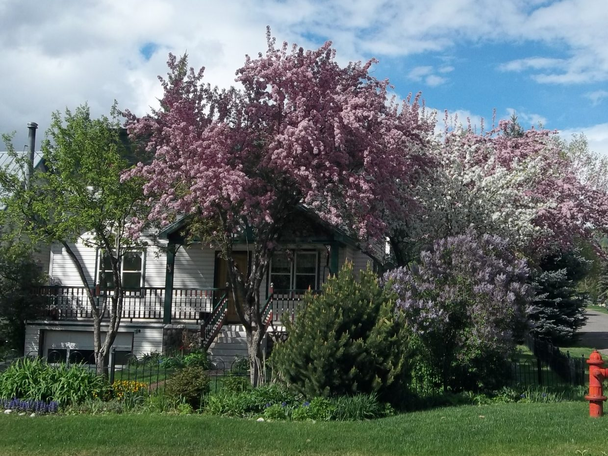 The nicest blooms are at Fourth and Pine streets. Submitted by: Bill Dorr
