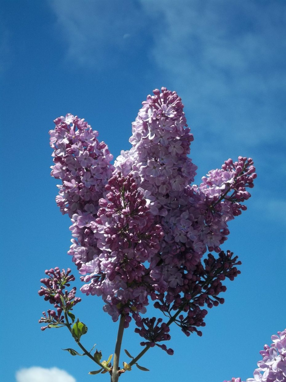 Moon over lilac blooms. Submitted by: Bill Dorr