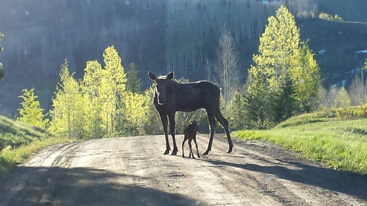 Mother and baby moose on Why Not road up to Four Points. Taken by: Peter VanDerWerf. Submitted by: Jim Kohler.