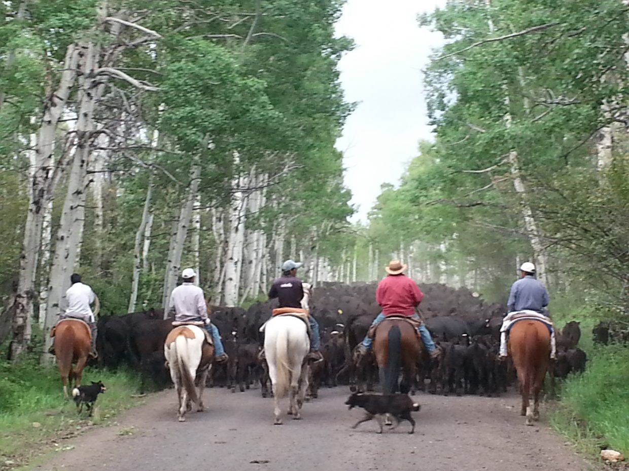 Cattle drive down the road to Three Forks Ranch. Submitted by: Luke Gordon
