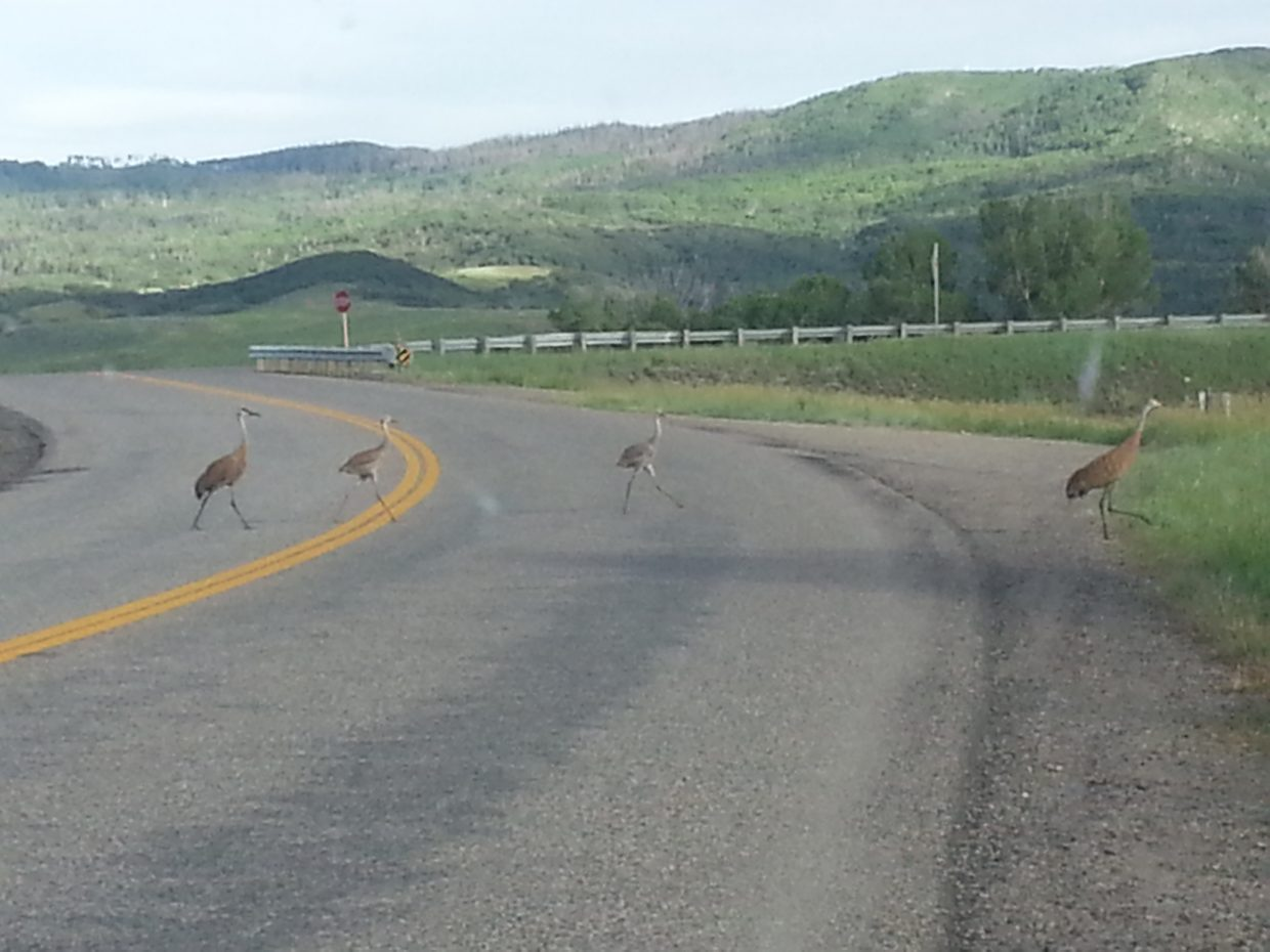 Sandhill crane crossing. Submitted by: Karen Lewer