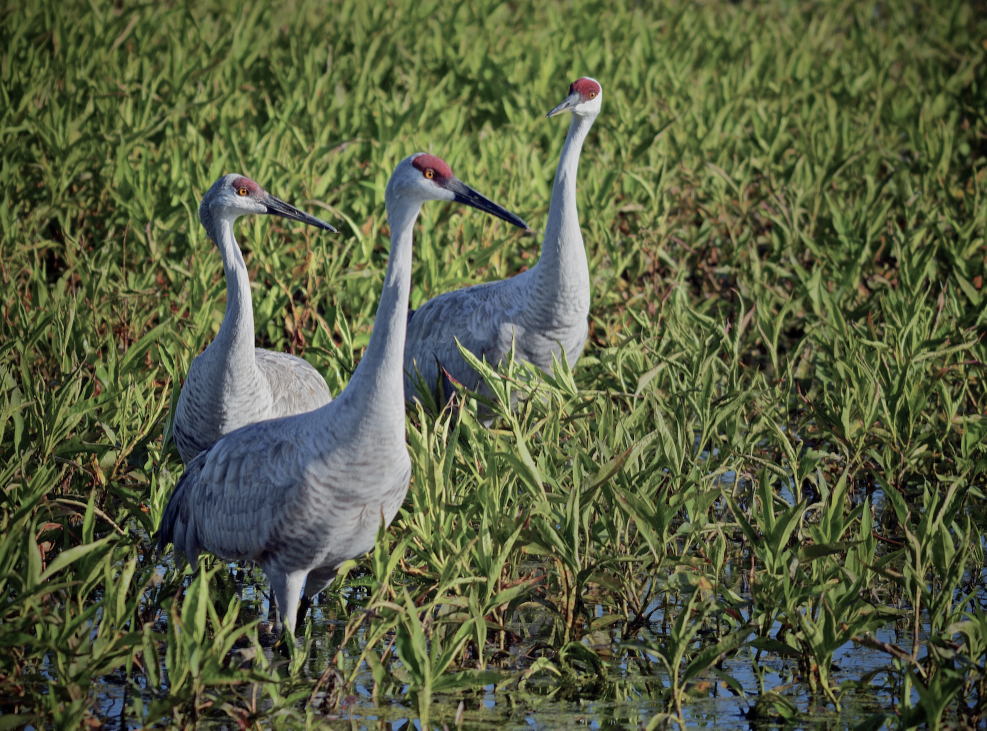 In honor of the sandhill cranes. Submitted by: Dana Stoner