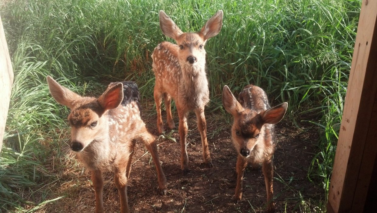 These mule deer fawns are being cared for at Born Free Wildlife Rehabilitation. They are just a few of the many animals in for rehab at this time. If you find abandoned or injured animals, call Born Free at 970-879-3747.