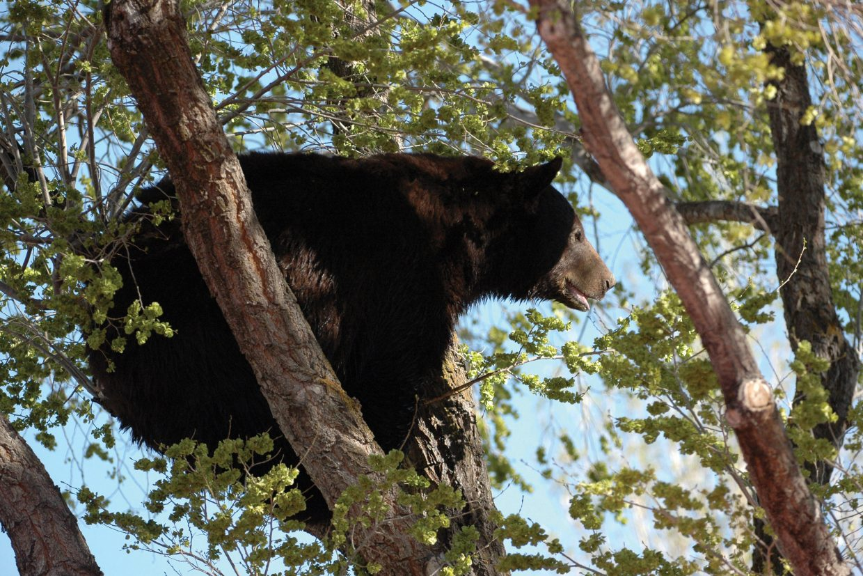Marvin Cattoor took a photo of an adult male black bear crouching in a tree Sunday morning on Ranney Street. The bear also took refuge in a tree on Mack Lane, said Cattoor, who took several photos of the animal before it was euthanized by Colorado Division of Parks and Wildlife officials.