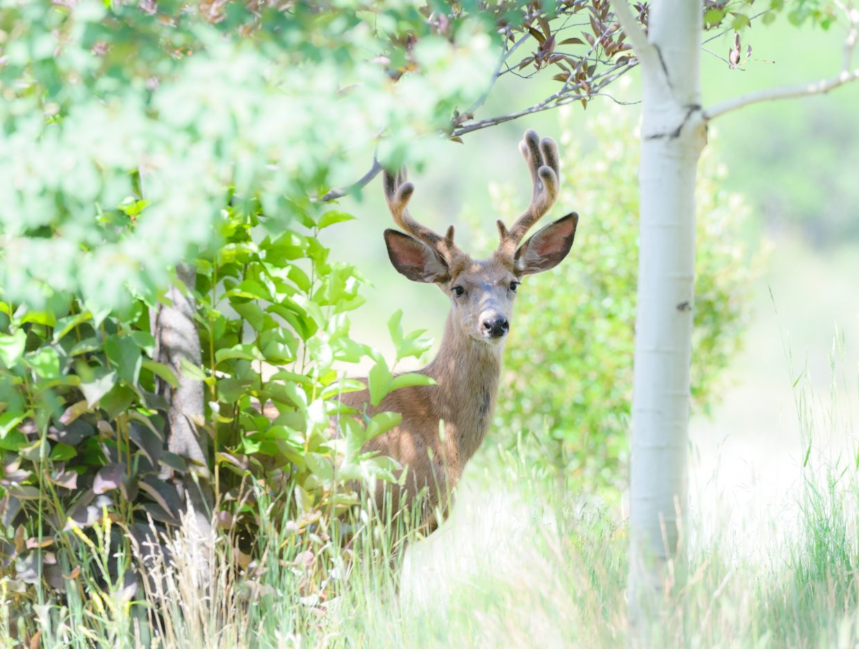Deer in the garden. Submitted by: Susannah Blundell