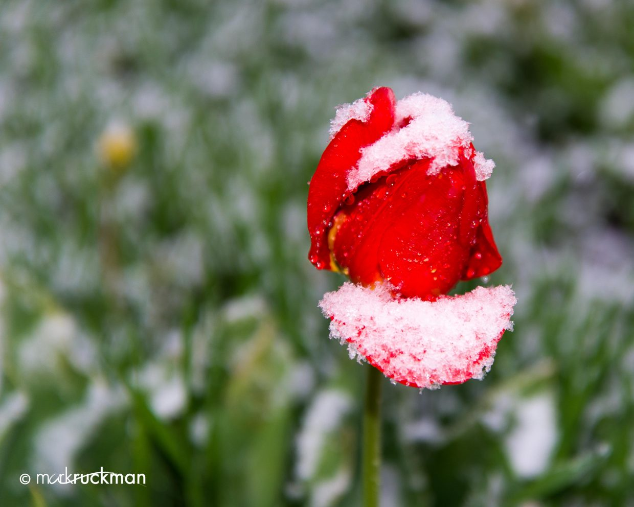 On Monday, we awoke to a nice little dusting of snow. This tulip is displaying the grand blending of winter and spring. Submitted by: Mark Ruckman