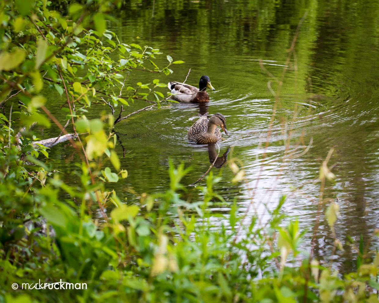 Ducks on a pond. Submitted by: Mark Ruckman