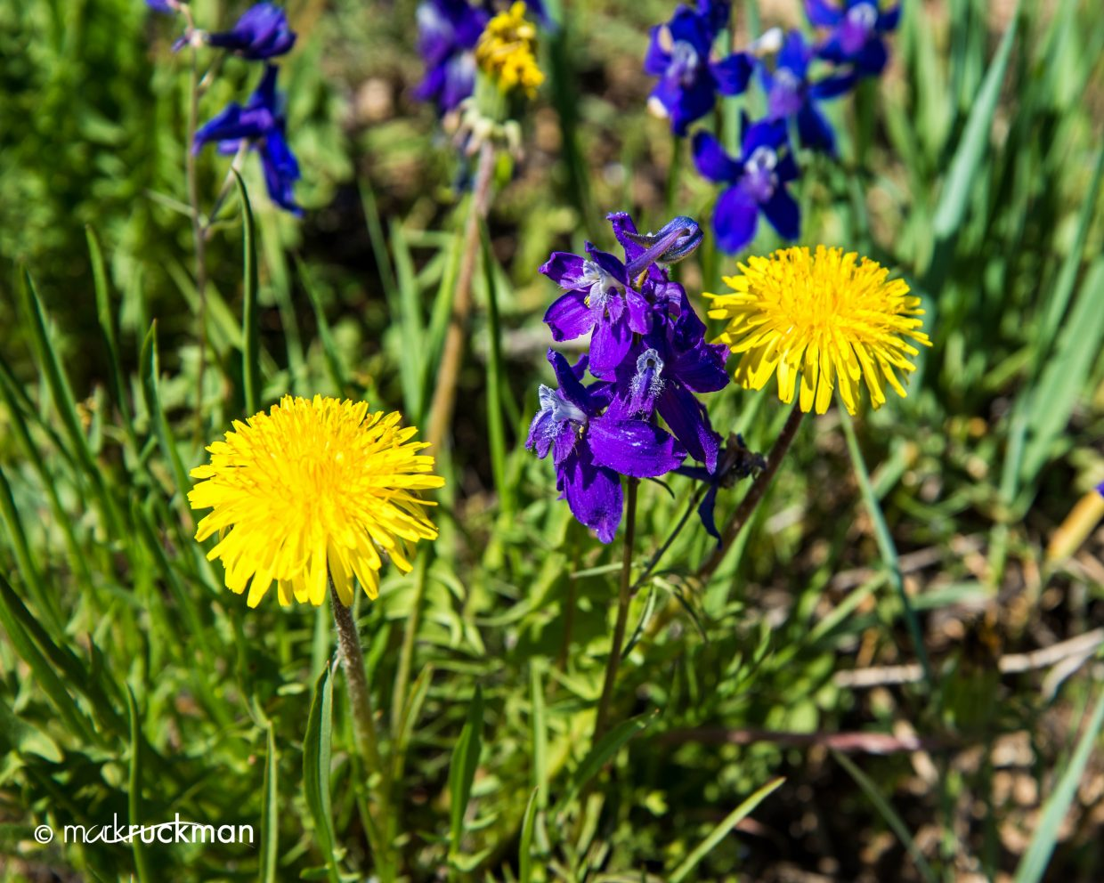 During a drive I saw a breath taking mix of colors along the edge of the road created by dandelions and early larkspur. Submitted by: Mark Ruckman