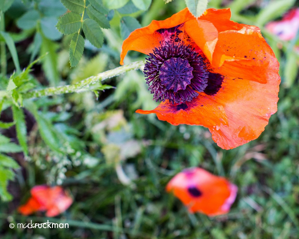 Poppies are in season. Submitted by: Mark Ruckman