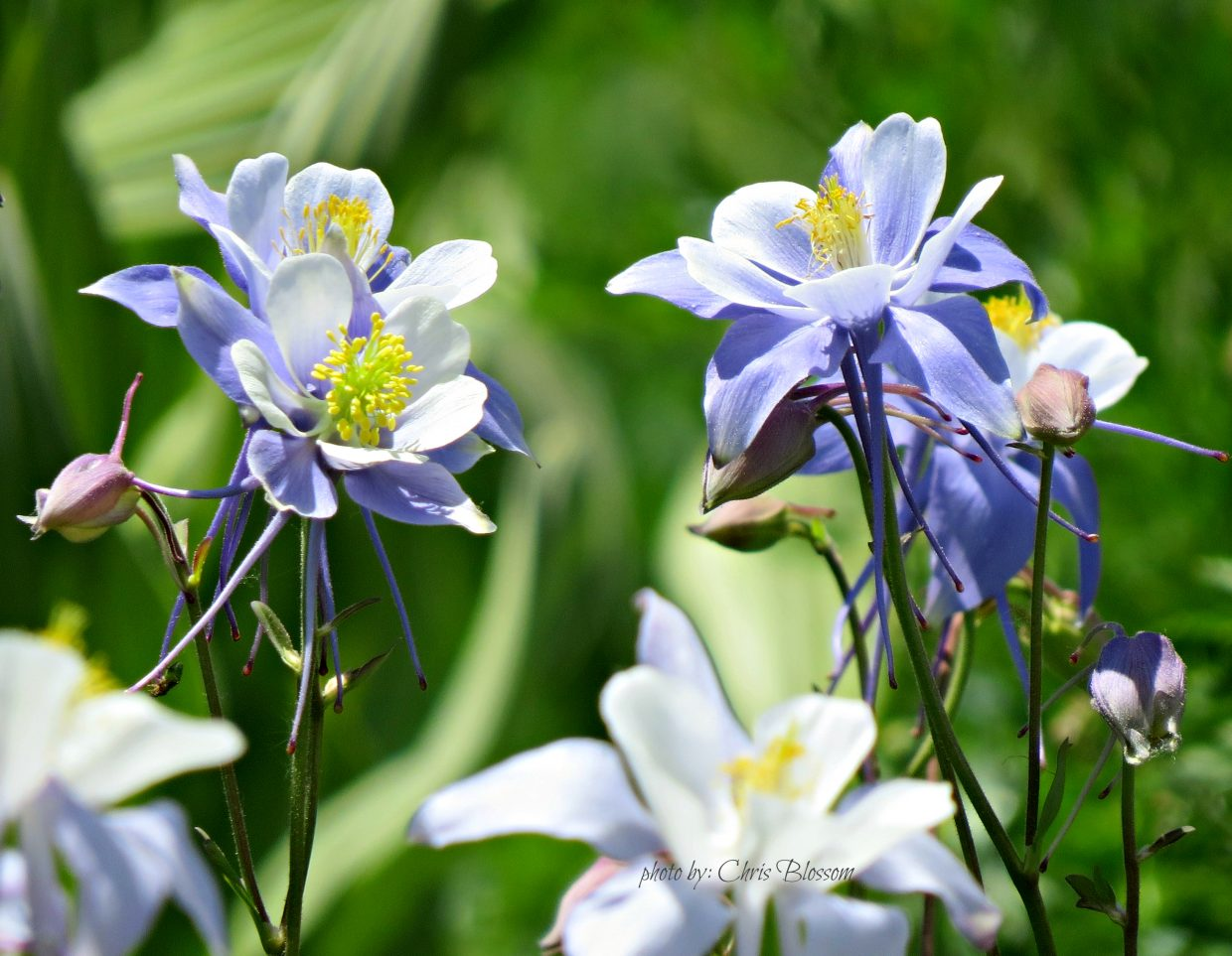 Columbines at Sheriff Reservoir. Submitted by: Chris Blossom