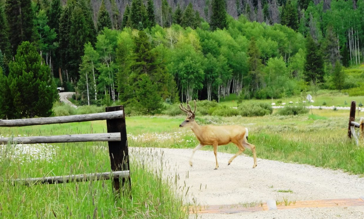 Two bucks crossed the road and then watched us as we passed by on Pearl Lake Road. Submitted by: Lewis and Trudy Wells
