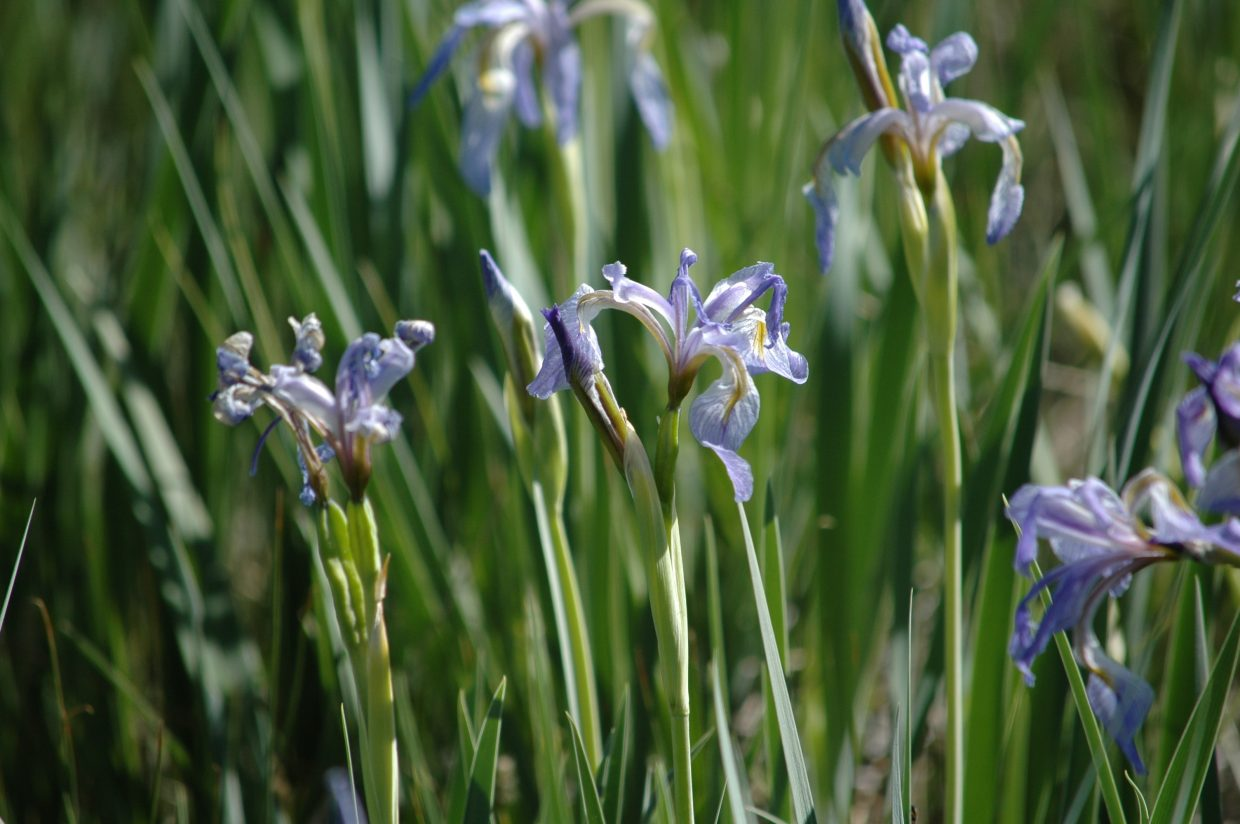Wild irises at Arapaho National Wildlife Refuge. Submitted by: Lindsay Porter