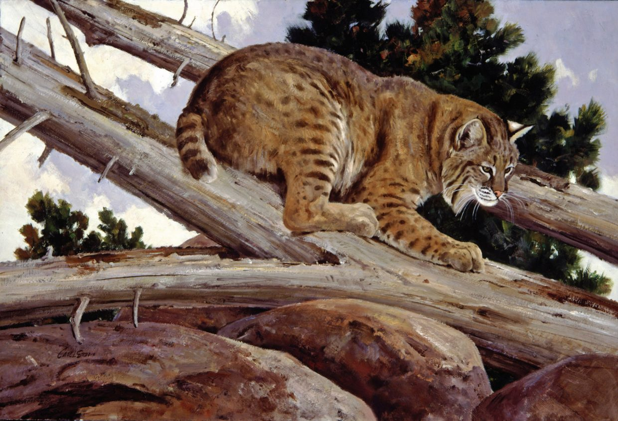A depiction of a bobcat by wildlife painter Ken Carlson.