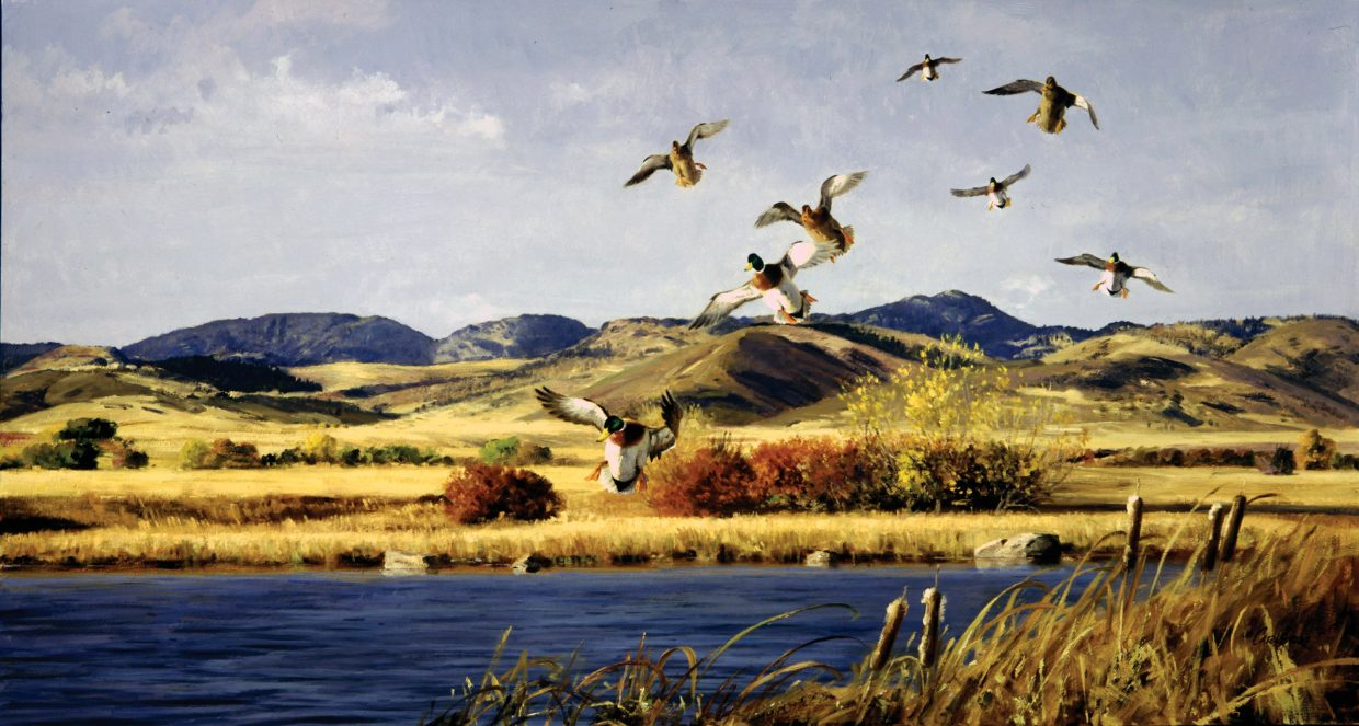 Ken Carlson's painting of mallards is one of many from a Wyoming ranch owner's private collection that will be on display through the winter at the Steamboat Art Museum.