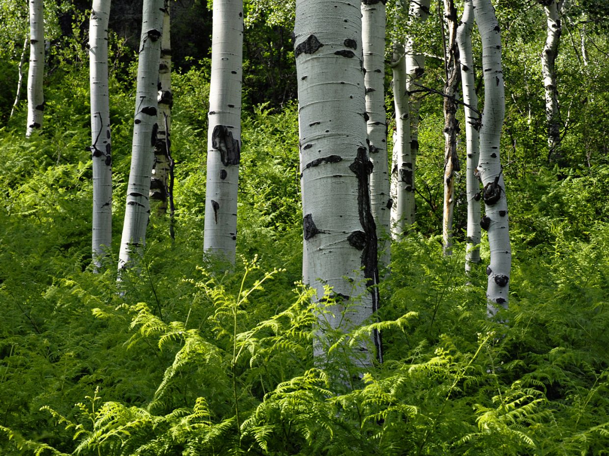 Aspens and ferns on the Spring Creek Trail. Submitted by: Jeff Hall