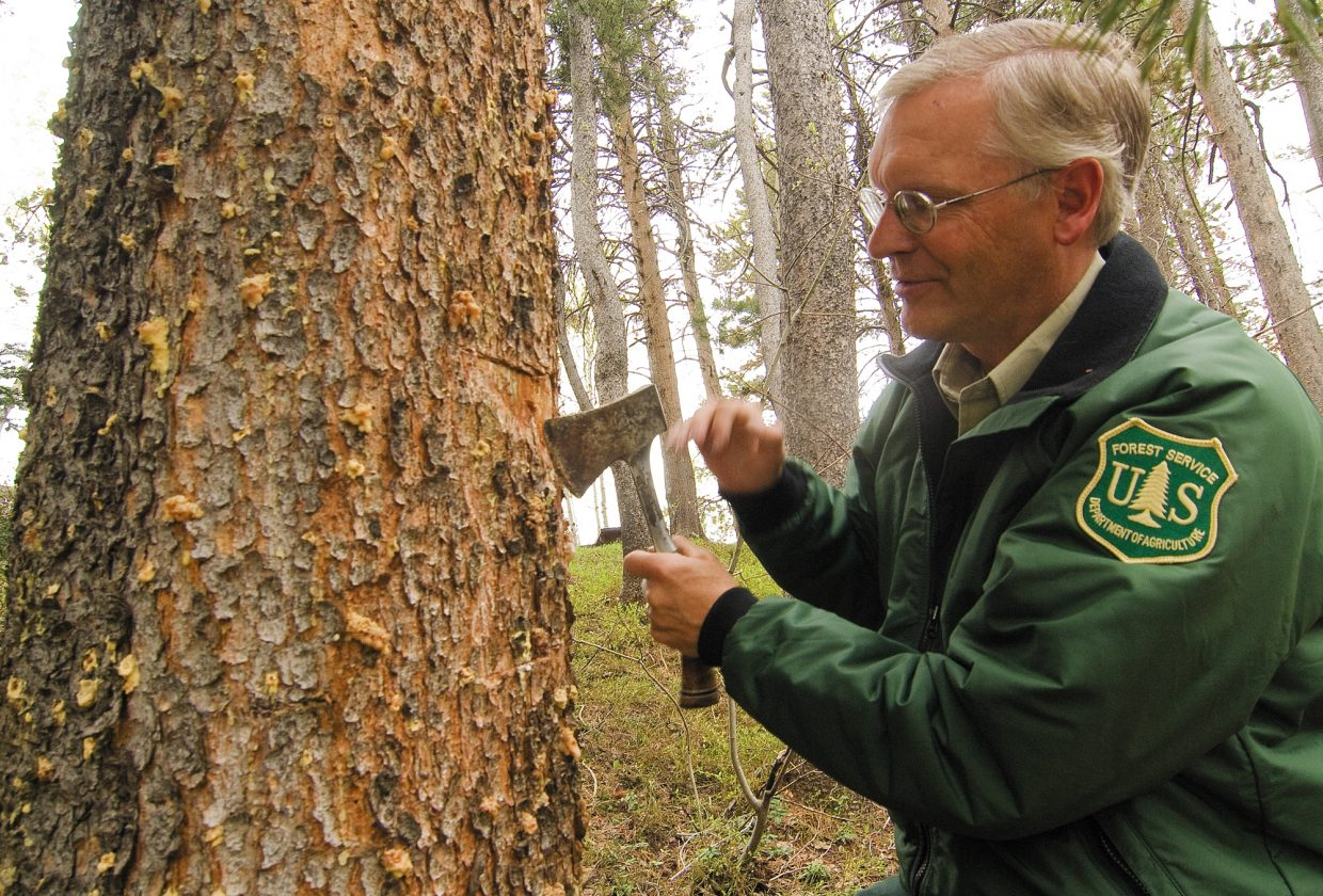 Andy Cadenhead, who works for the U.S. Forest Service, takes the bark off a dying pine tree on Rabbit Ears Pass to look for the mountain pine beetle. Cadenhead said dying trees still may look healthy, but on the outside, small flows of hardened sap are a good indication that beetles are present. Cadenhead said the tree exudes the sap in an attempt to push the beetles out - the tree's only defense against the insect.