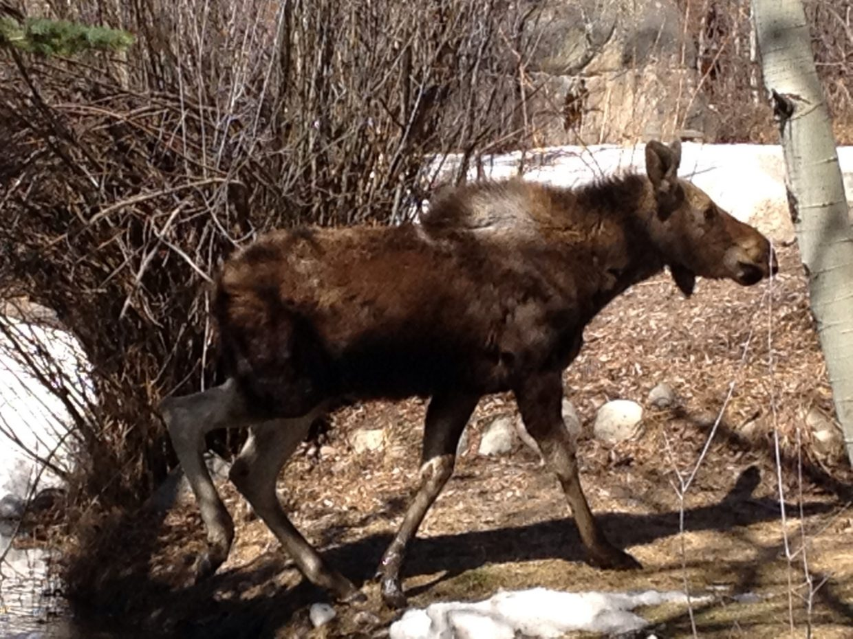Baby moose. Submitted by: Michael Osterman