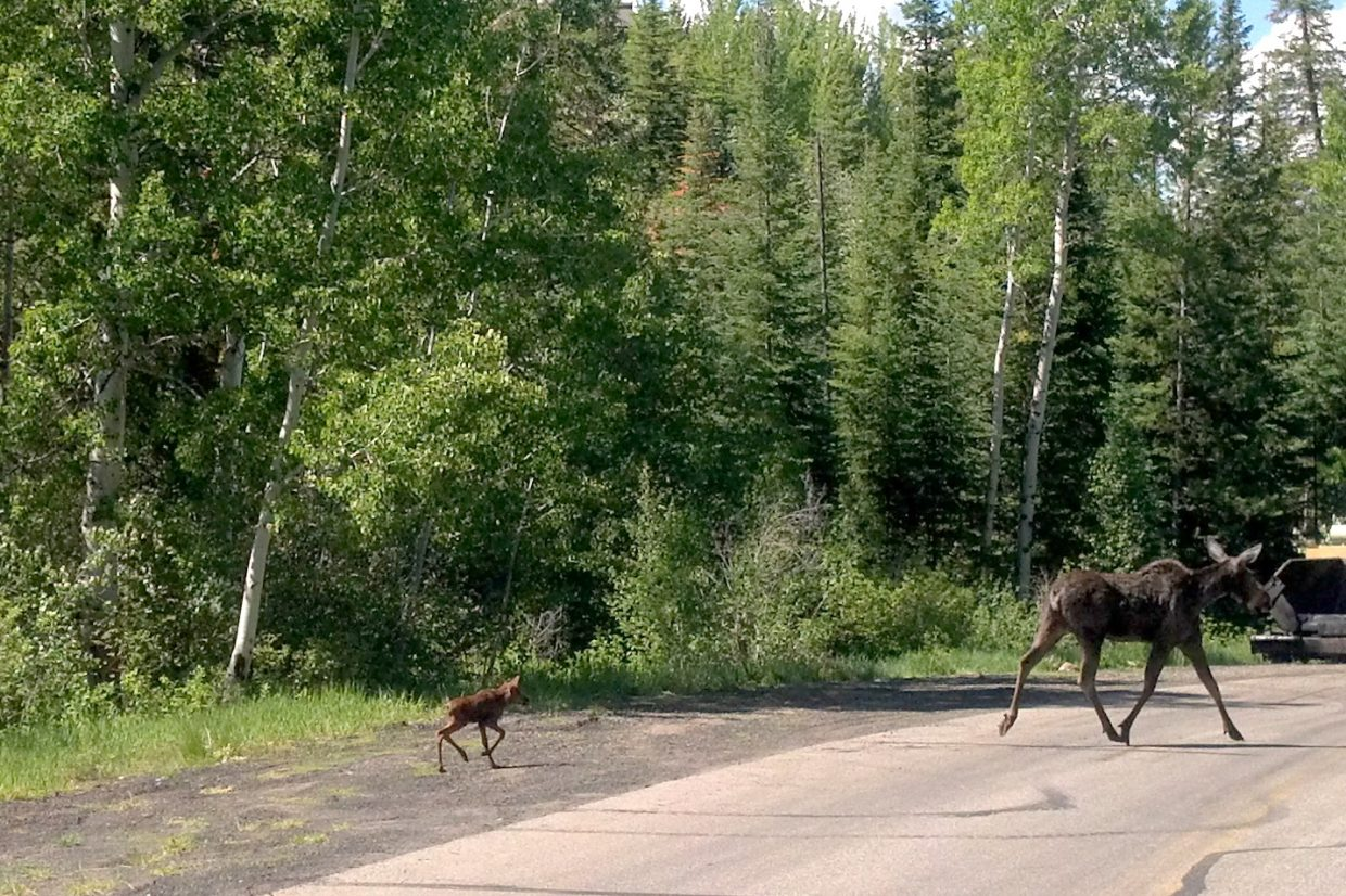 Baby and mama moose on Burgess Creek Road. Submitted by: Andy Kennedy