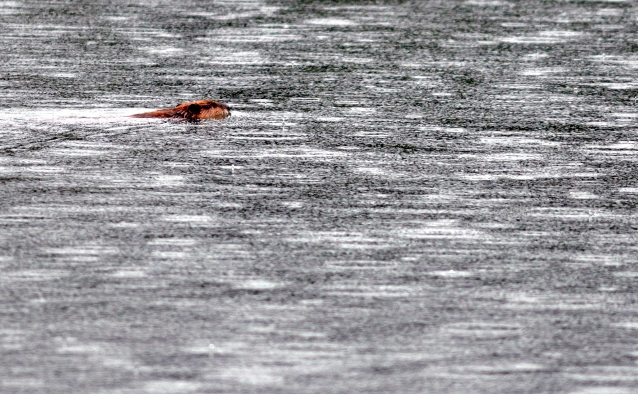 A beaver swims in Crosho Lake in South Routt County.