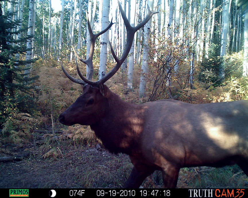 """All of these shots were taken near Buffalo Pass at a heavily used water hole,"" says local hunter Bill Van Ness. ""The bull moose was the boss of the woods and actually came by me at 10 years, tearing up every tree in his path. He had a pretty severe attitude. The elk was in front of my trail cameras daily. He was fun to monitor. One morning he passed through a camera, then four hours later he passed through another one two miles away. The bear is one of nine different bears I was able to catch on camera in the area. You couldn't set foot in the woods without coming across a bear up there."""