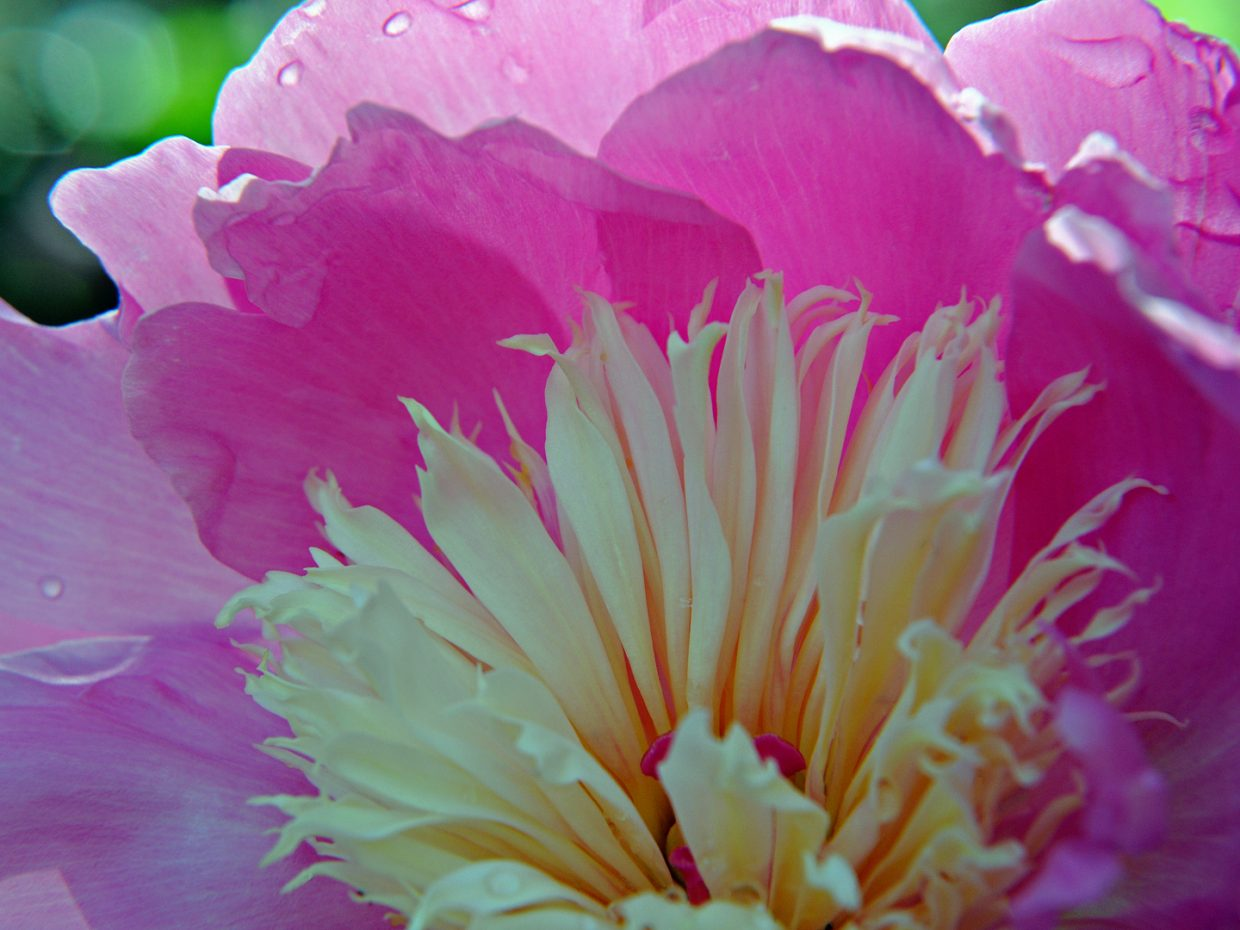 Bowl of Beauty Peony at Yampa River Botanic Park. Submitted by: Jeff Hall