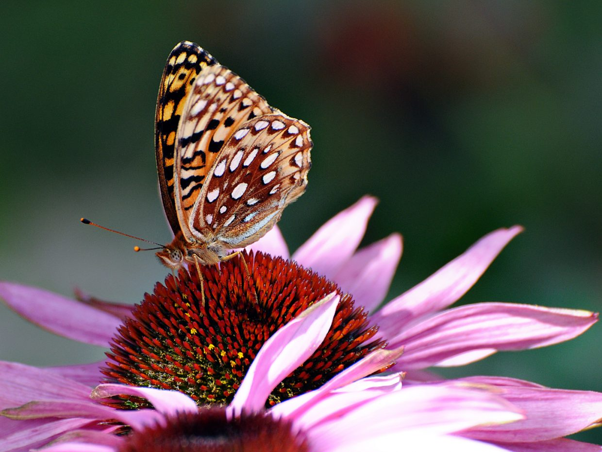 Butterfly at the Yampa River Botanic Park. Submitted by: Jeff Hall