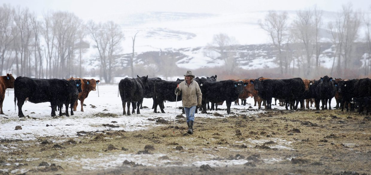 Local rancher Larry Monger checks on his cattle Thursday morning.